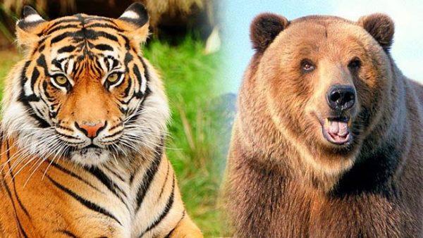 Медведь и тигр