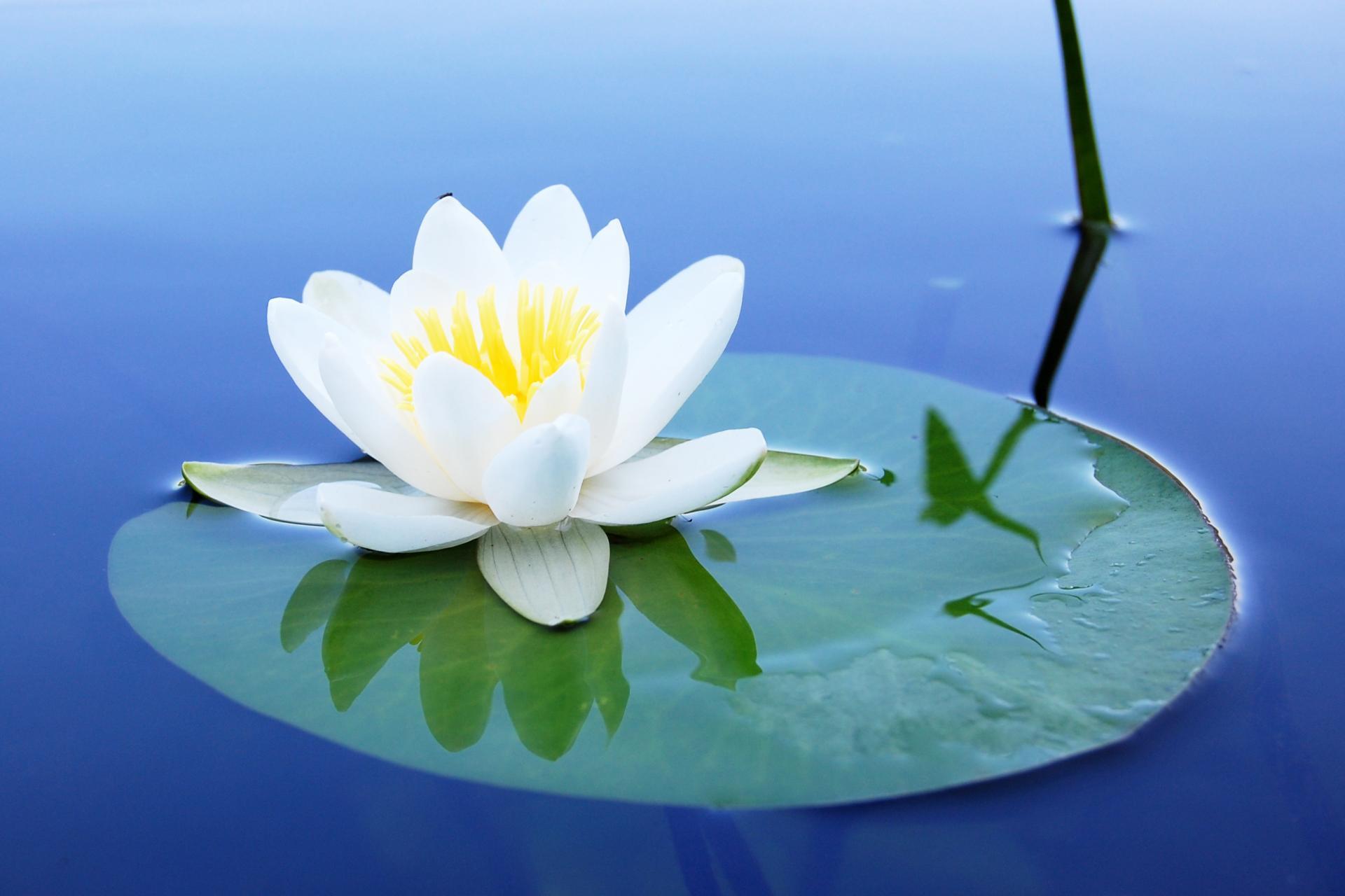 картинки белых лилий на воде данном разговоре