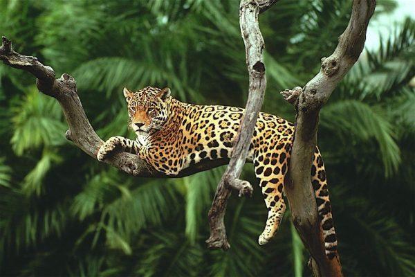 Ягуар на ветке